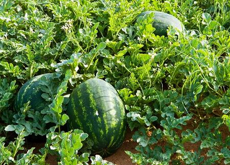 Semangka.png