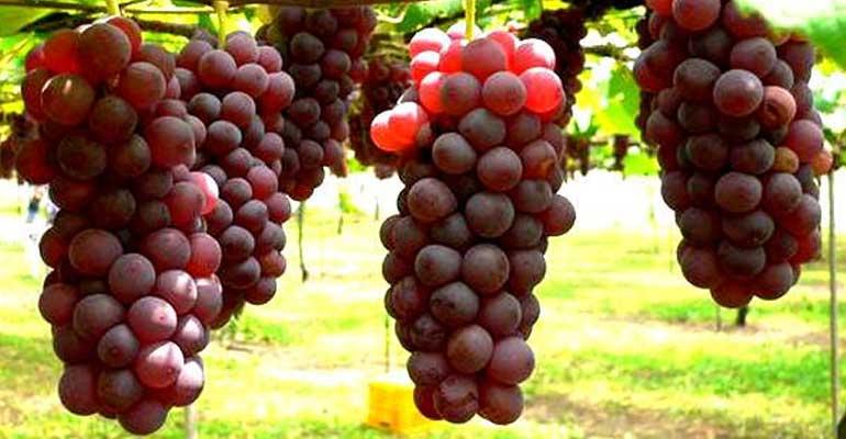 Langkah Budidaya Anggur