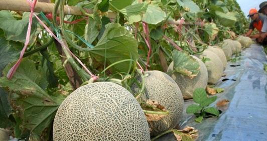 Budidaya Melon Mudah Dengan PlastikMulsa