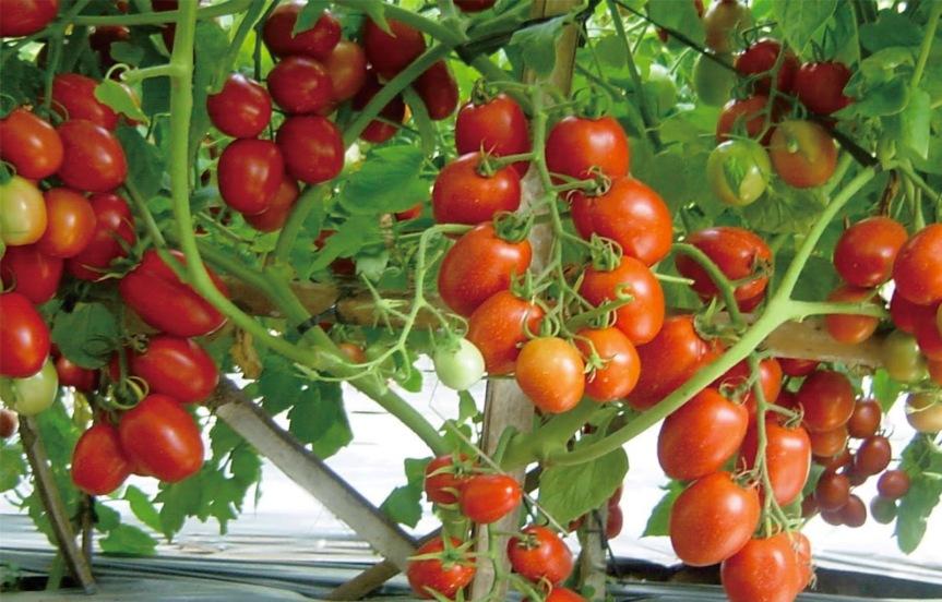 Cara-Budidaya-Tomat-dalam-Polybag-yang-Mudah