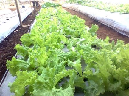 selada-organik