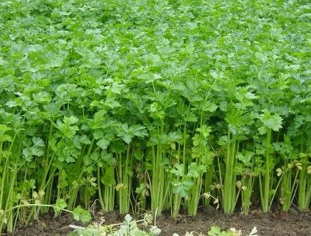 tanaman-obat-seledri
