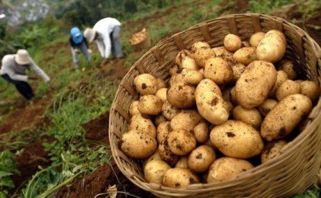budidaya kentang